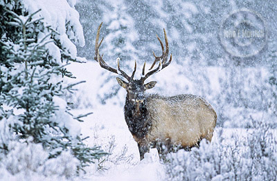 Bull elk in a snowstorm, Banff National Park