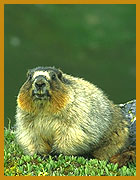© Candis Waugh - Nope..I'm not a beaver, try Marmot...