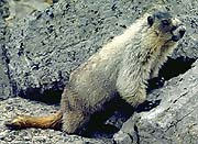 Marmot in the pass