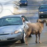Beware of mountain sheep. They love to roam!