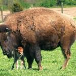 Buffalo Paddock