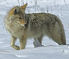 Coyotes are common along the Bow Valley Parkway, and often delight locals and visitors alike by hunting right at roadside.