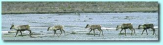 Mountain caribou - © John Marriott