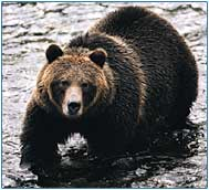 Don't hug this bear. Look for the friendly one in Banff.