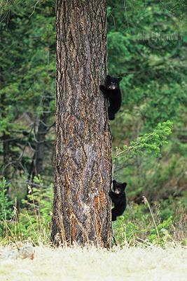 Jasper Wildlife Photography: Black Bear Cubs