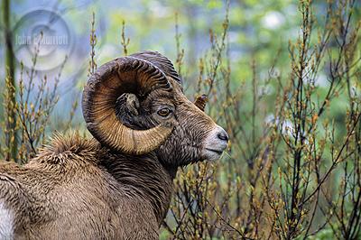 Jasper Wildlife Photography: Bighorn Ram