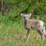bsh0031_bighornsheep_lamb