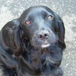 dog-cocker-spaniel-dark-glossy-coat-2-dbw