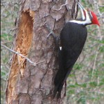 A supposedly innocent pileated woodpecker.