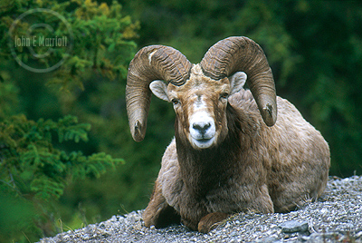 Bighorn Sheep ram along the Bow Valley Parkway