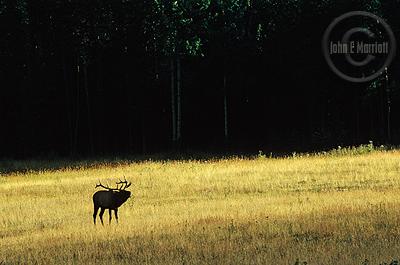 Bull elk bugling in beautiful fall colours