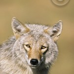 The coyote - not necessarily the Barbara Streisand of the Canadian Rockies!