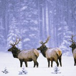 It is very common to see Elk around Jasper National Park.