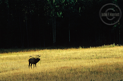 Bull elk in the wildlife photography workshop