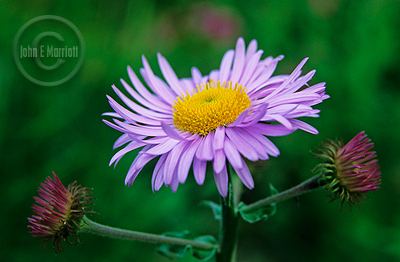 Using an extension tube for wildflower macro photography