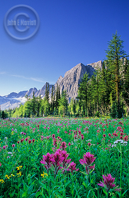 Wildflowers in the Canadian Rocky Mountains, Kootenay National Park, BC, Canada