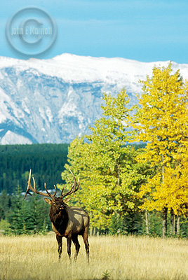 Bull Elk Photography in Banff National Park