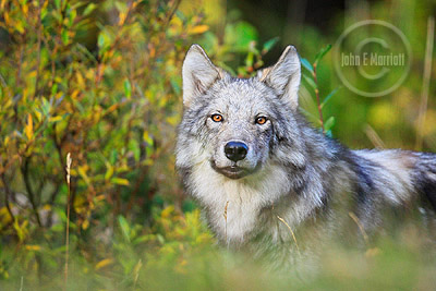 Wild wolf in Banff National Park