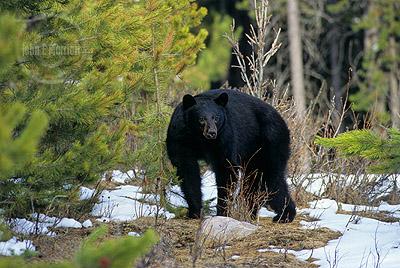 Black bear along the Maligne Lake Road this week