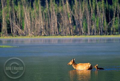 Elk photography along Vermilion Lakes Drive in Banff