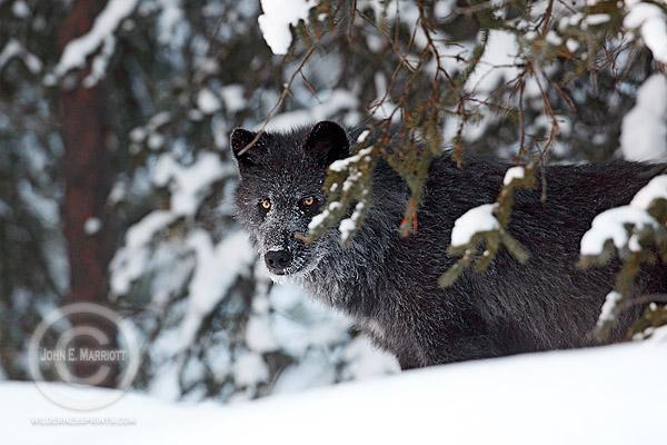 Wolf photography in Jasper