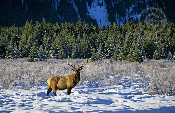 Bull elk in meadow on a beautiful winter day