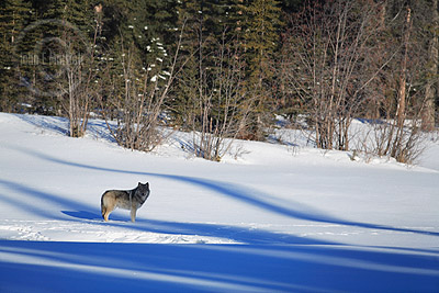 Wild wolf on the Athabasca River in Jasper National Park